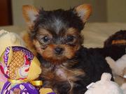 well trained male and female teacup Yorkie puppies for re homing