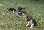 Cute Beagle Puppies for Sale In Good Homes