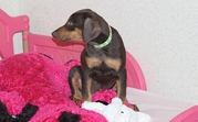 Cute Doberman Pinscher Puppies For Sale  In Good Homes