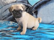 Fawn pug puppies ready for all