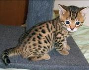 Bengal kittens available for homes