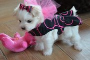 Cute And Lovely Maltese,  Puppies For Sale