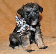 Non Shedding Miniature Schnauzer Puppies for Sale
