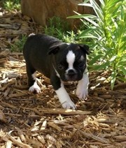 Cute Boston Terrier Puppy for Sale