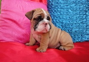 Pedigree Proven English bulldog puppy