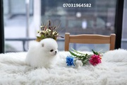 SAWMK Stunning,  miniature White Pom  07031956739