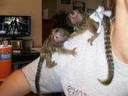 GF65 Adorable Twin Pygmy Marmoset and Capuchin 07031957695