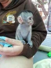 ZXVXD V Adorable Twin Pygmy Marmoset and Capuchin 07031956739