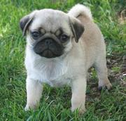 Pug Puppies Now Ready to go