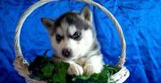 Siberian Husky Puppies For  free home