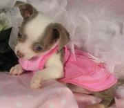 chihuahuas,  KC registered puppies for sale