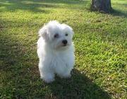 Cute Maltese Puppies For Sale In Good Homes