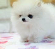Pure white teacup Pomeranian puppies