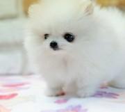 Pure white teacup Pomeranian puppies