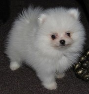 Elegant Pomeranian puppies ready for good home