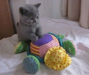 A Certainly Healthy 12wks Old Purebred British Shorthair Cats